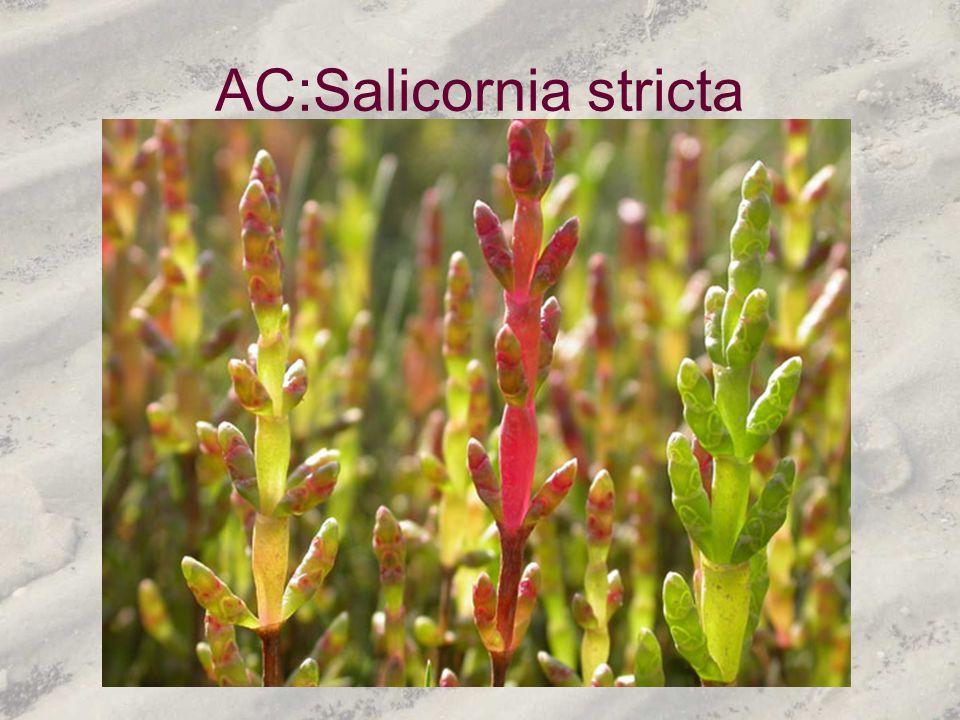 AC:Salicornia stricta
