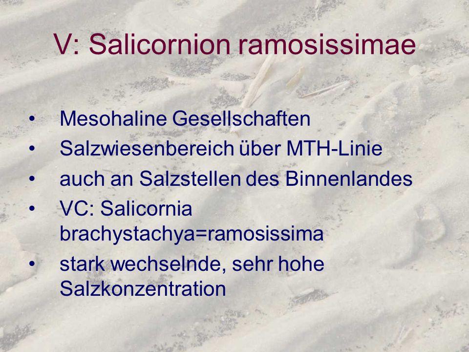 V: Salicornion ramosissimae Mesohaline Gesellschaften Salzwiesenbereich über MTH-Linie auch an Salzstellen des Binnenlandes VC: Salicornia brachystach