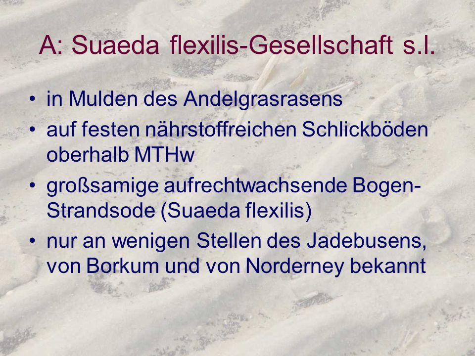 A: Suaeda flexilis-Gesellschaft s.l. in Mulden des Andelgrasrasens auf festen nährstoffreichen Schlickböden oberhalb MTHw großsamige aufrechtwachsende