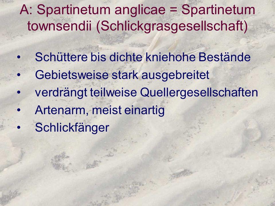 A: Spartinetum anglicae = Spartinetum townsendii (Schlickgrasgesellschaft) Schüttere bis dichte kniehohe Bestände Gebietsweise stark ausgebreitet verd