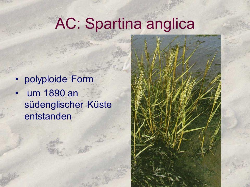 AC: Spartina anglica polyploide Form um 1890 an südenglischer Küste entstanden