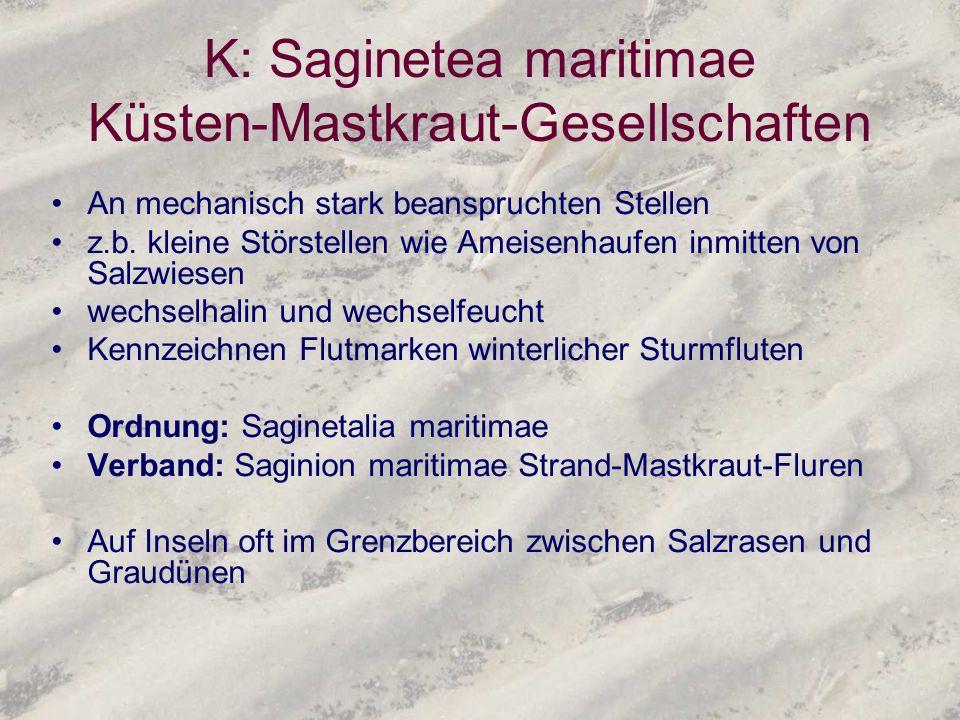 K: Saginetea maritimae Küsten-Mastkraut-Gesellschaften An mechanisch stark beanspruchten Stellen z.b. kleine Störstellen wie Ameisenhaufen inmitten vo