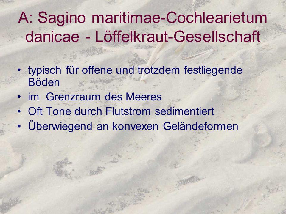 A: Sagino maritimae-Cochlearietum danicae - Löffelkraut-Gesellschaft typisch für offene und trotzdem festliegende Böden im Grenzraum des Meeres Oft To