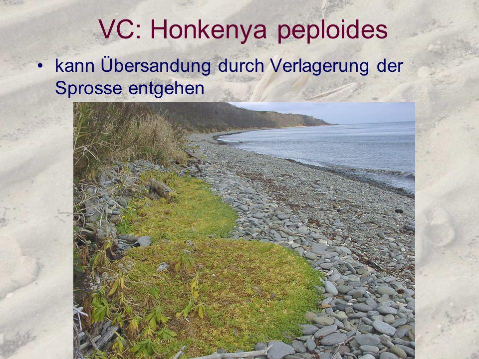 VC: Honkenya peploides kann Übersandung durch Verlagerung der Sprosse entgehen