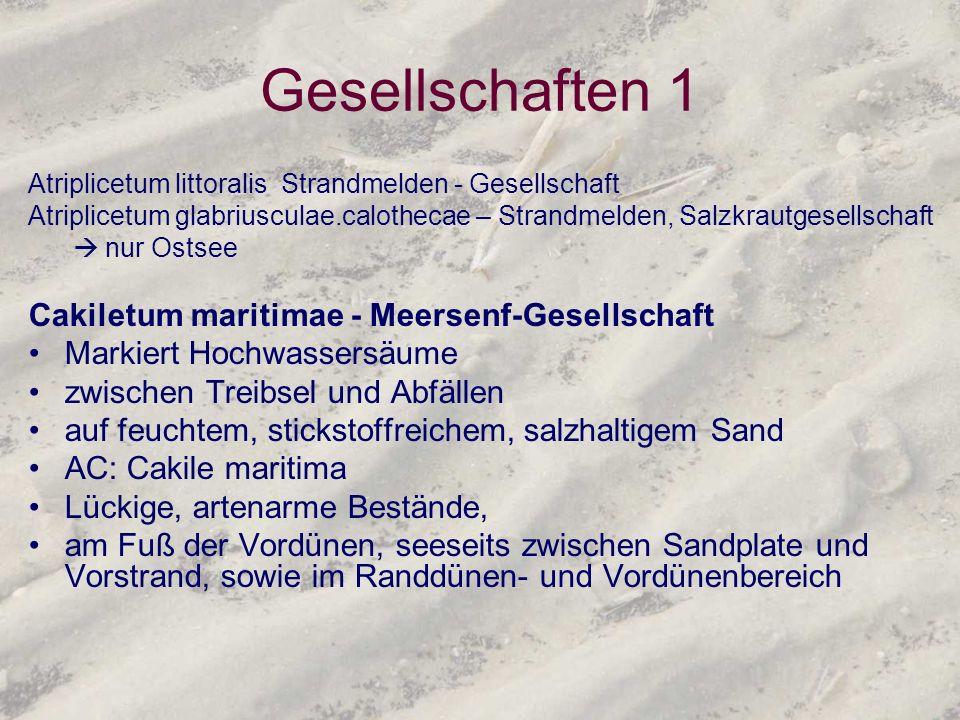 Gesellschaften 1 Atriplicetum littoralis Strandmelden - Gesellschaft Atriplicetum glabriusculae.calothecae – Strandmelden, Salzkrautgesellschaft nur O