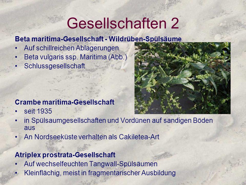 Gesellschaften 2 Beta maritima-Gesellschaft - Wildrüben-Spülsäume Auf schillreichen Ablagerungen Beta vulgaris ssp. Maritima (Abb.) Schlussgesellschaf