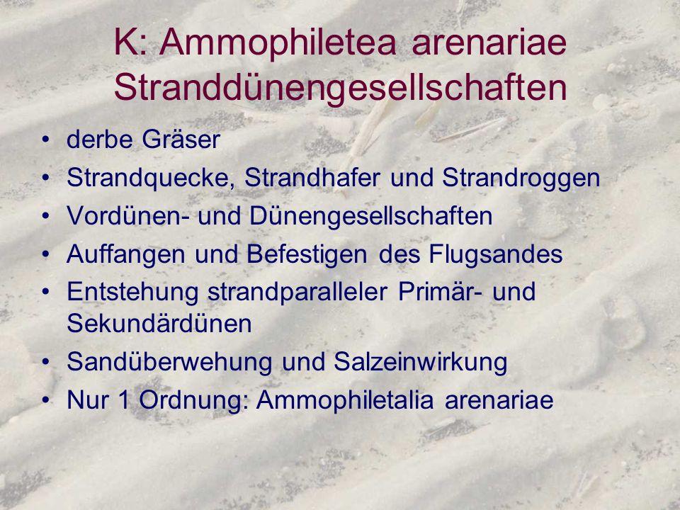 K: Ammophiletea arenariae Stranddünengesellschaften derbe Gräser Strandquecke, Strandhafer und Strandroggen Vordünen- und Dünengesellschaften Auffange