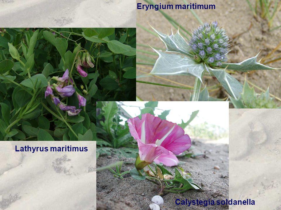 Lathyrus maritimus Eryngium maritimum Calystegia soldanella