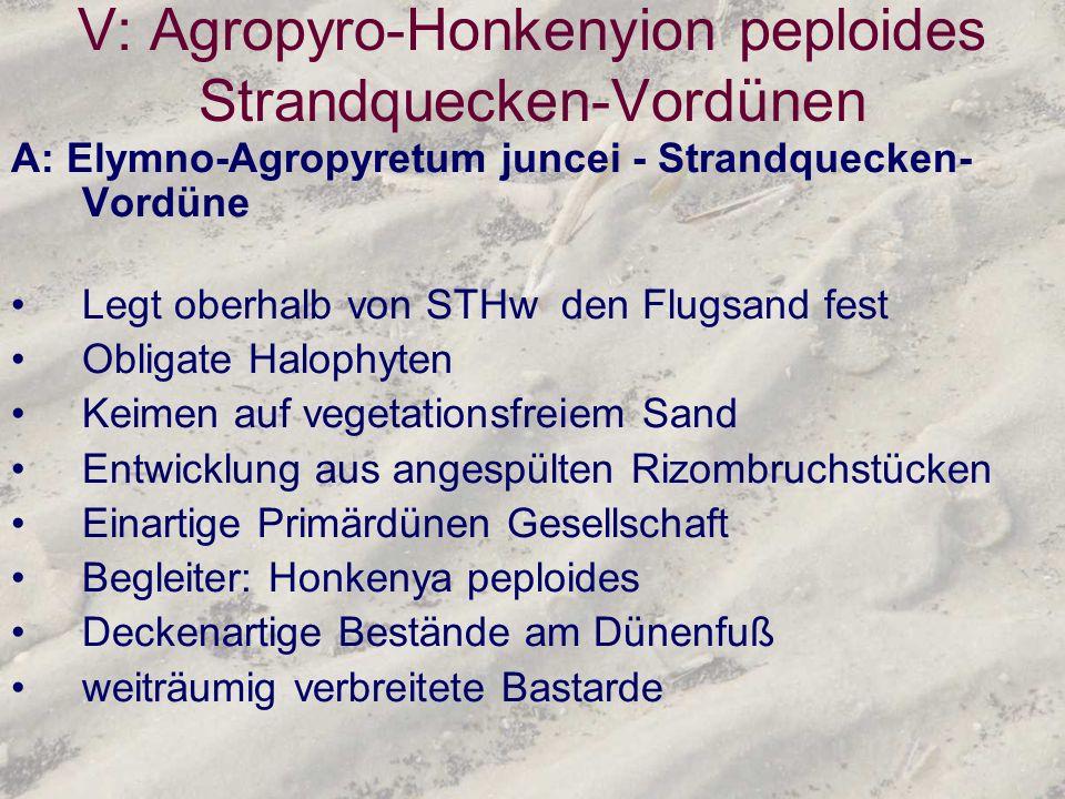 V: Agropyro-Honkenyion peploides Strandquecken-Vordünen A: Elymno-Agropyretum juncei - Strandquecken- Vordüne Legt oberhalb von STHw den Flugsand fest