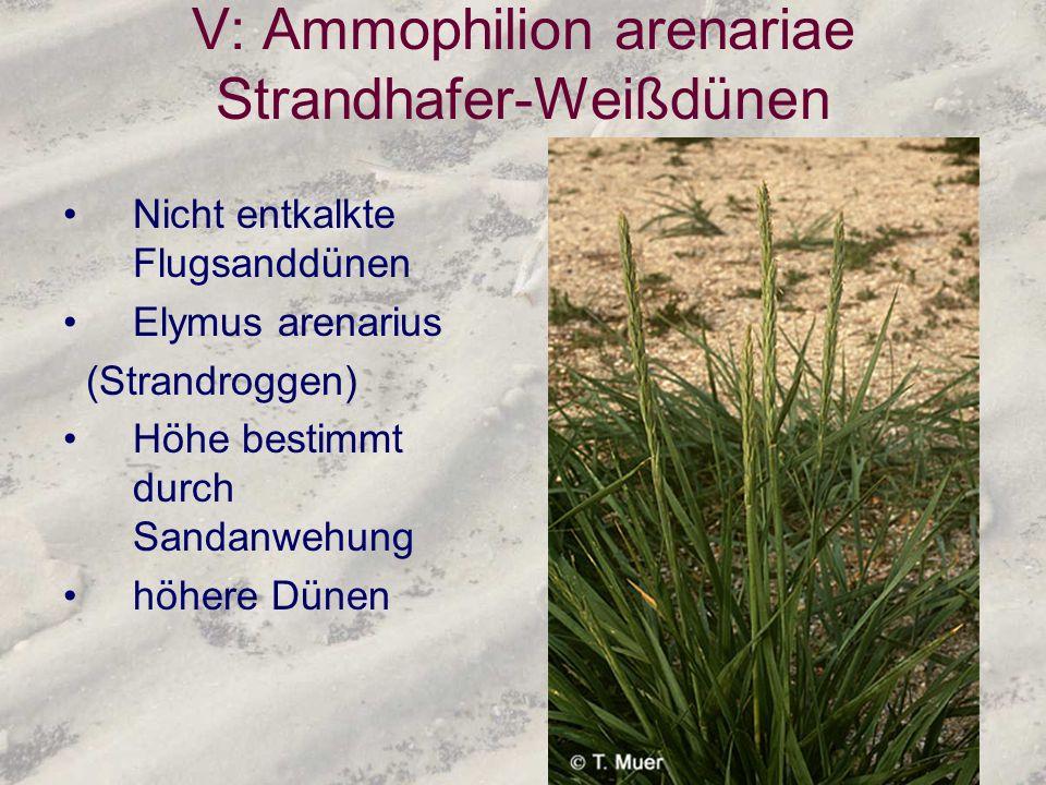 V: Ammophilion arenariae Strandhafer-Weißdünen Nicht entkalkte Flugsanddünen Elymus arenarius (Strandroggen) Höhe bestimmt durch Sandanwehung höhere D
