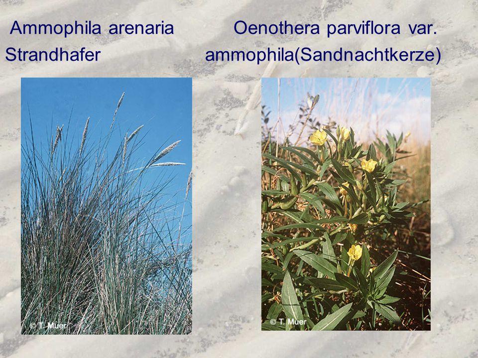 Ammophila arenaria Oenothera parviflora var. Strandhafer ammophila(Sandnachtkerze)