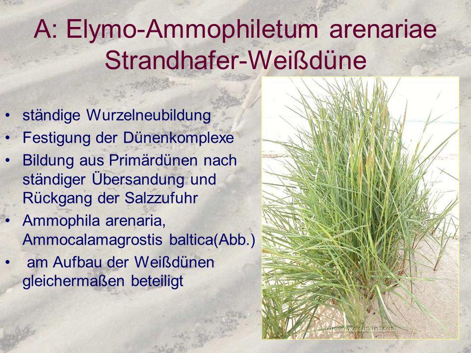 A: Elymo-Ammophiletum arenariae Strandhafer-Weißdüne ständige Wurzelneubildung Festigung der Dünenkomplexe Bildung aus Primärdünen nach ständiger Über