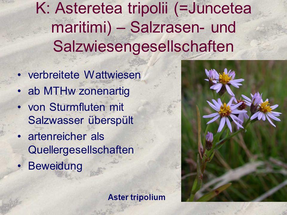 K: Asteretea tripolii (=Juncetea maritimi) – Salzrasen- und Salzwiesengesellschaften verbreitete Wattwiesen ab MTHw zonenartig von Sturmfluten mit Sal