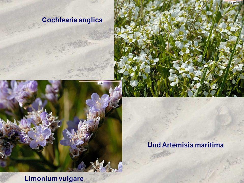 Und Artemisia maritima Limonium vulgare Cochlearia anglica