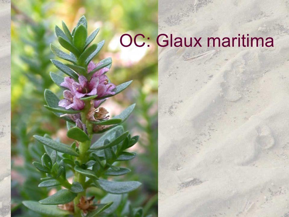 OC: Glaux maritima