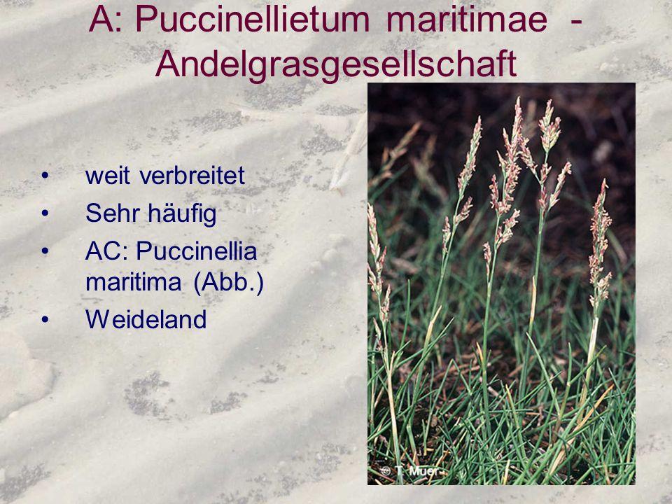 A: Puccinellietum maritimae - Andelgrasgesellschaft weit verbreitet Sehr häufig AC: Puccinellia maritima (Abb.) Weideland