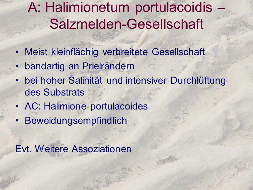 A: Halimionetum portulacoidis – Salzmelden-Gesellschaft Meist kleinflächig verbreitete Gesellschaft bandartig an Prielrändern bei hoher Salinität und