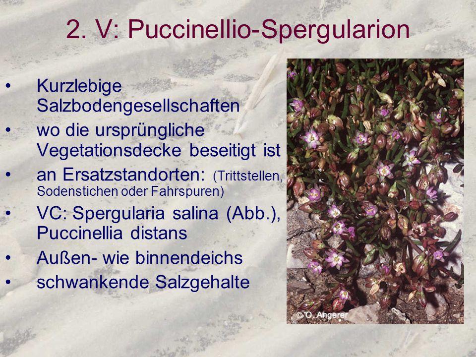 2. V: Puccinellio-Spergularion Kurzlebige Salzbodengesellschaften wo die ursprüngliche Vegetationsdecke beseitigt ist an Ersatzstandorten: (Trittstell