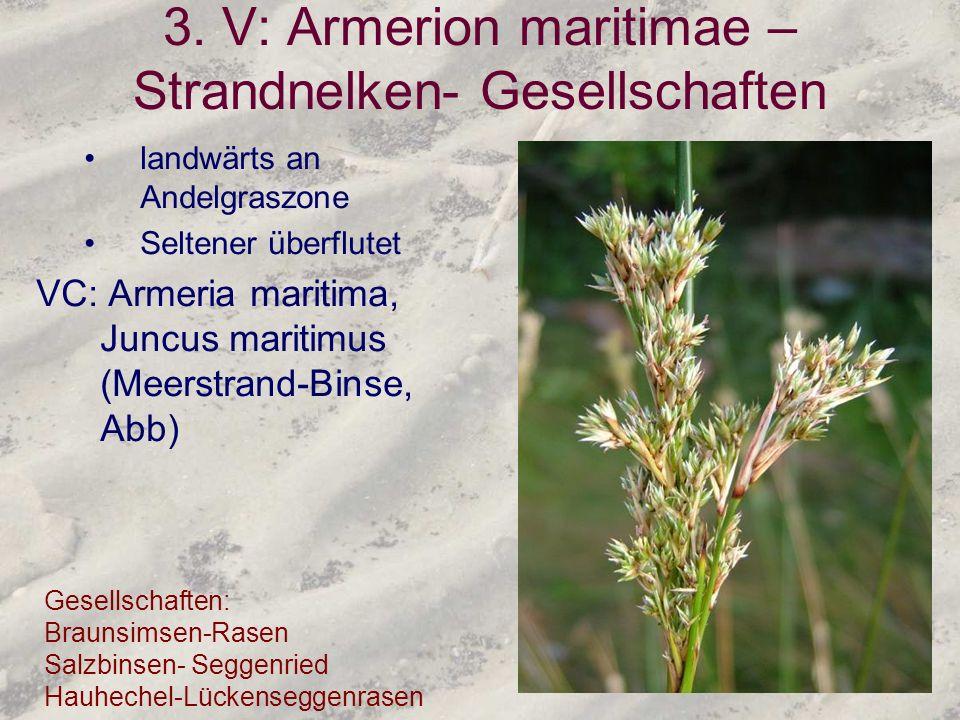 3. V: Armerion maritimae – Strandnelken- Gesellschaften landwärts an Andelgraszone Seltener überflutet VC: Armeria maritima, Juncus maritimus (Meerstr