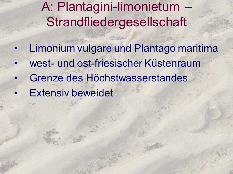 A: Plantagini-limonietum – Strandfliedergesellschaft Limonium vulgare und Plantago maritima west- und ost-friesischer Küstenraum Grenze des Höchstwass