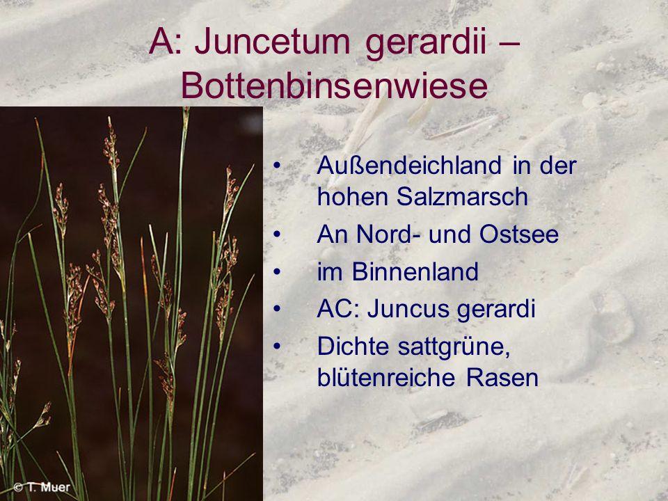 A: Juncetum gerardii – Bottenbinsenwiese Außendeichland in der hohen Salzmarsch An Nord- und Ostsee im Binnenland AC: Juncus gerardi Dichte sattgrüne,