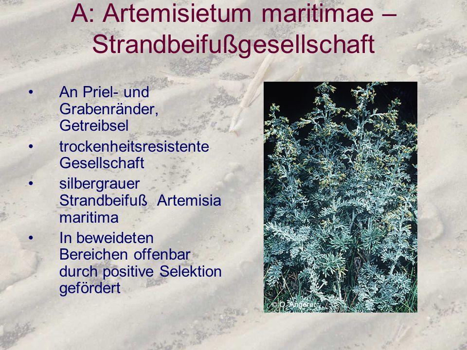 A: Artemisietum maritimae – Strandbeifußgesellschaft An Priel- und Grabenränder, Getreibsel trockenheitsresistente Gesellschaft silbergrauer Strandbei