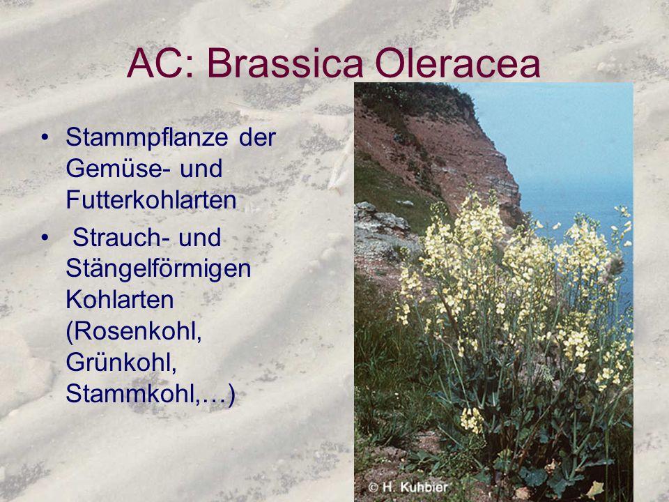 AC: Brassica Oleracea Stammpflanze der Gemüse- und Futterkohlarten Strauch- und Stängelförmigen Kohlarten (Rosenkohl, Grünkohl, Stammkohl,…)