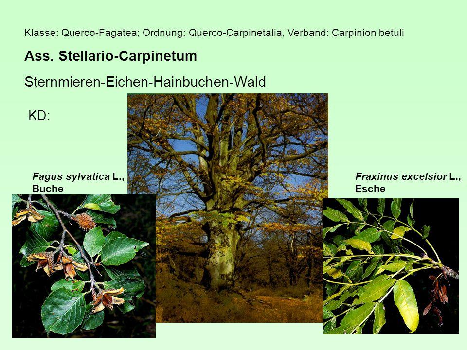Klasse: Querco-Fagatea; Ordnung: Querco-Carpinetalia, Verband: Carpinion betuli Ass.