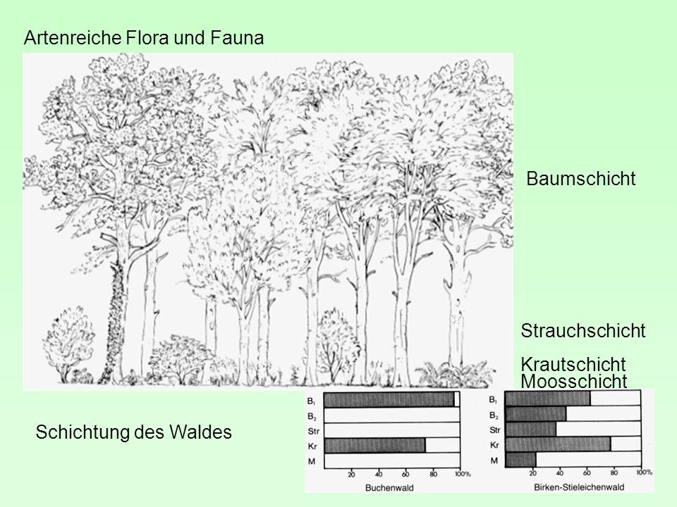 Artenreiche Flora und Fauna Schichtung des Waldes Baumschicht Strauchschicht Krautschicht Moosschicht