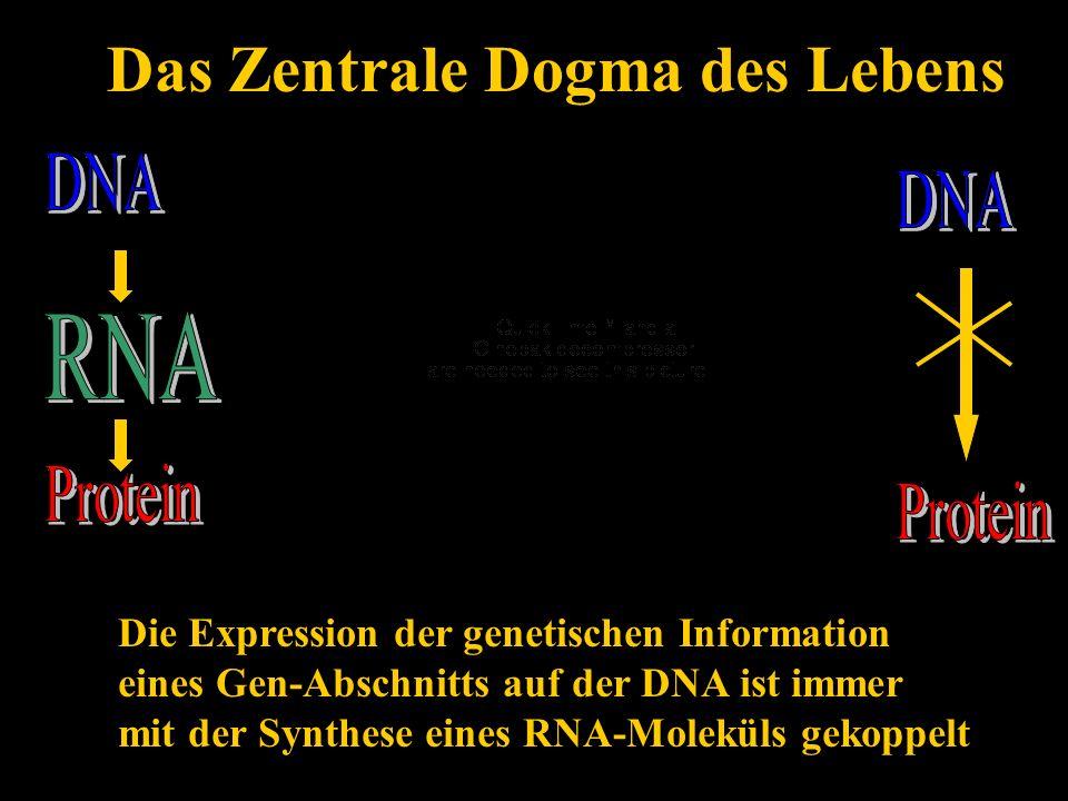 Das Zentrale Dogma des Lebens Die Expression der genetischen Information eines Gen-Abschnitts auf der DNA ist immer mit der Synthese eines RNA-Molekül