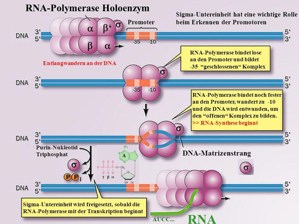 RNA-Polymerase bindet lose an den Promoter und bildet -35 geschlossenen Komplex RNA-Polymerase bindet noch fester an den Promoter, wandert zu -10 und