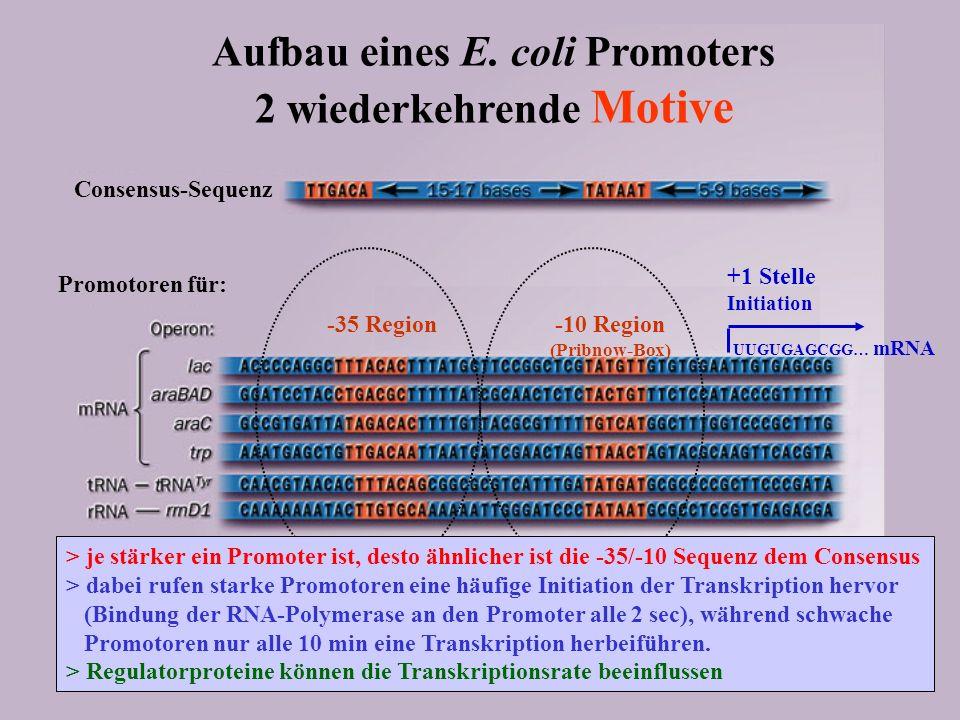 -35 Region -10 Region (Pribnow-Box) RNA-Polymerase Consensus-Sequenz Promotoren für: +1 Stelle Initiation UUGUGAGCGG… mRNA Aufbau eines E. coli Promot