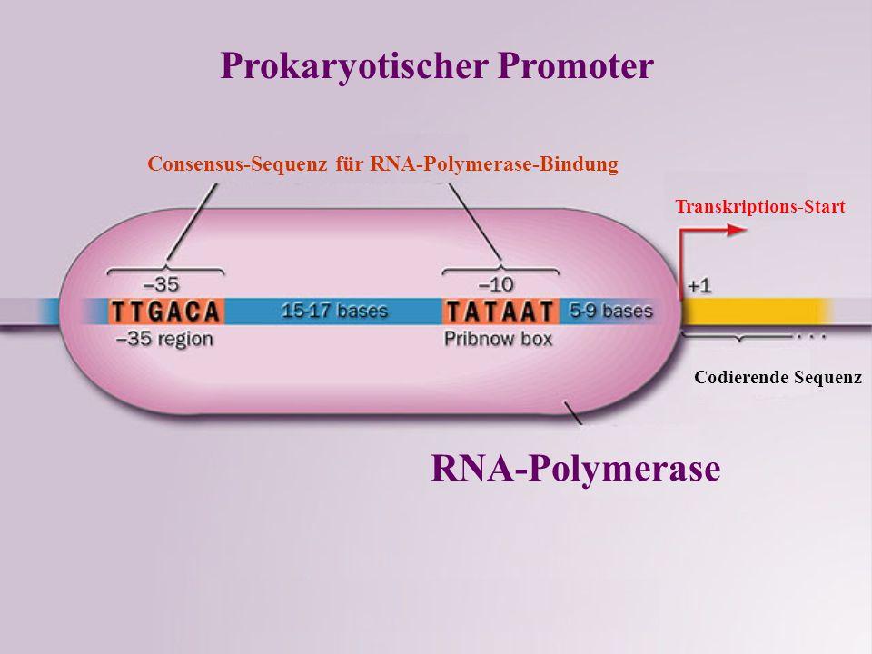 Prokaryotischer Promoter Consensus-Sequenz für RNA-Polymerase-Bindung Transkriptions-Start Codierende Sequenz RNA-Polymerase