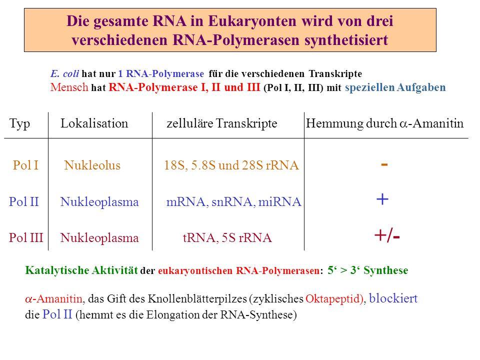 Die gesamte RNA in Eukaryonten wird von drei verschiedenen RNA-Polymerasen synthetisiert E. coli hat nur 1 RNA-Polymerase für die verschiedenen Transk