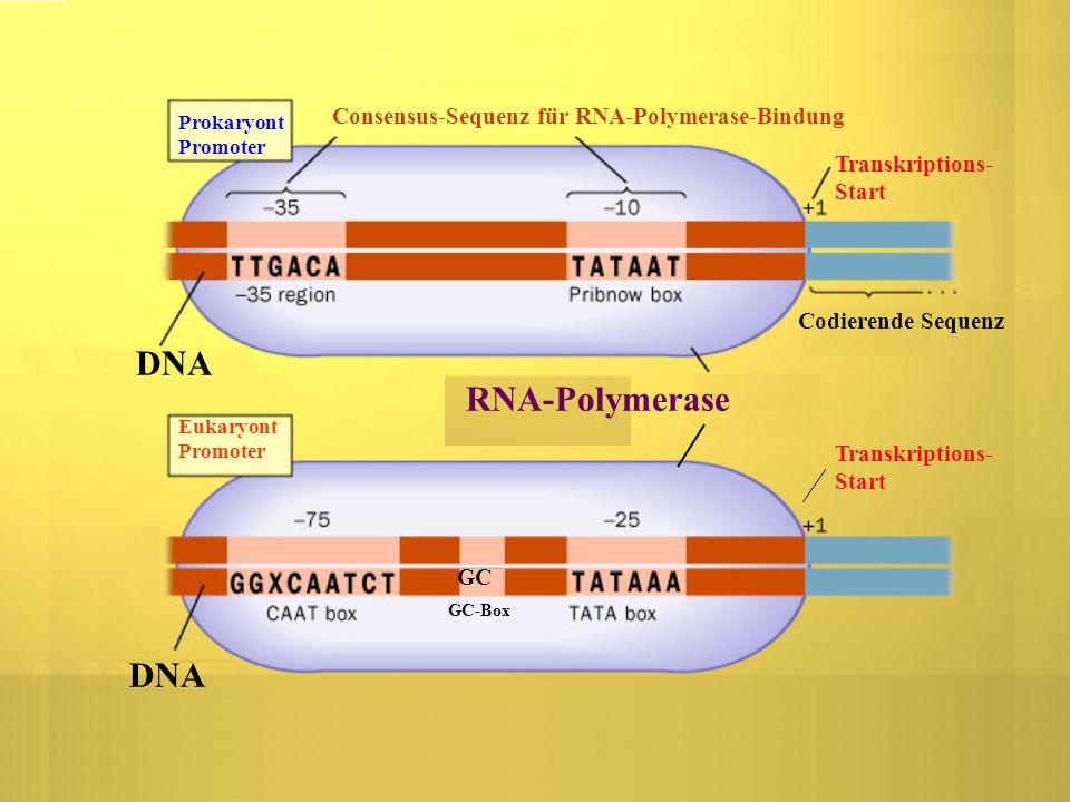 Consensus-Sequenz für RNA-Polymerase-Bindung Prokaryont Promoter Eukaryont Promoter Transkriptions- Start RNA-Polymerase DNA Codierende Sequenz Transk