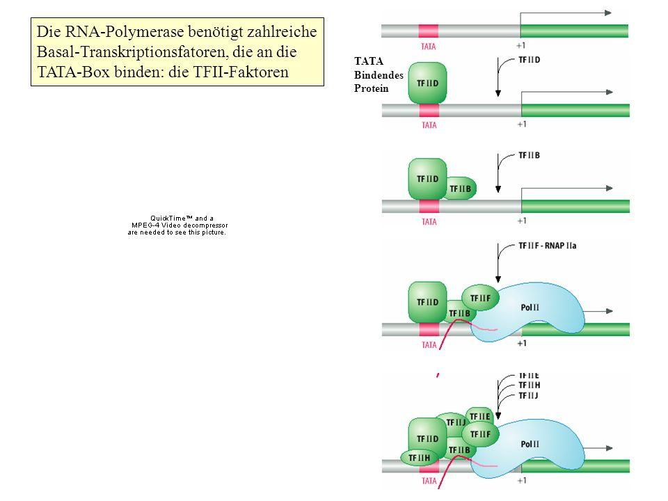Die RNA-Polymerase benötigt zahlreiche Basal-Transkriptionsfatoren, die an die TATA-Box binden: die TFII-Faktoren TATA Bindendes Protein