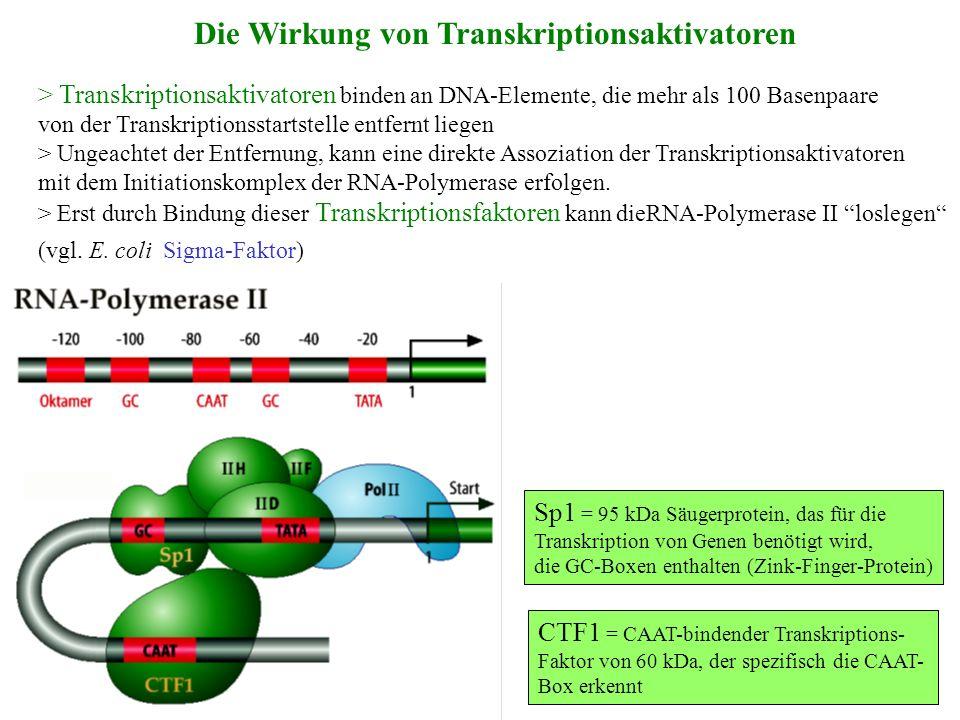 Die Wirkung von Transkriptionsaktivatoren > Transkriptionsaktivatoren binden an DNA-Elemente, die mehr als 100 Basenpaare von der Transkriptionsstarts
