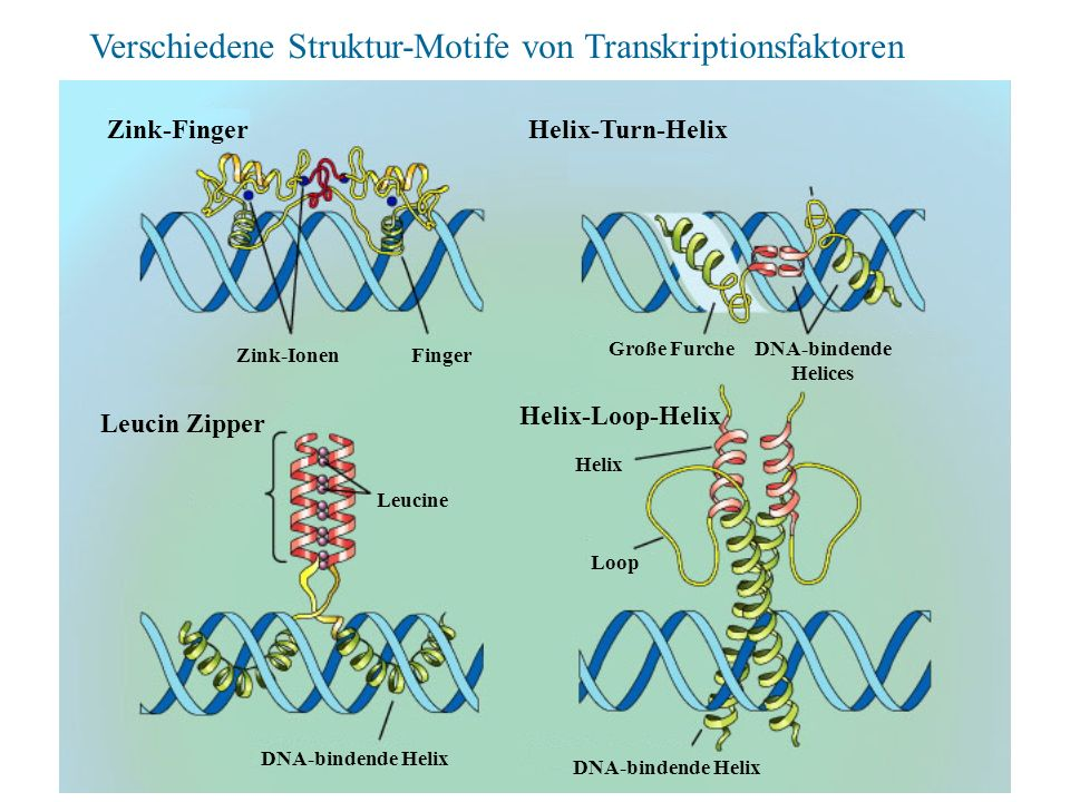Zink-FingerHelix-Turn-Helix Leucin Zipper Helix-Loop-Helix Zink-IonenFinger Große FurcheDNA-bindende Helices Leucine DNA-bindende Helix Helix Loop Ver
