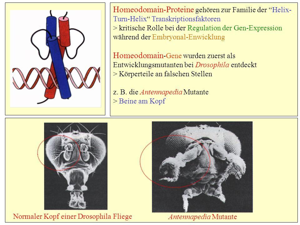 Homeodomain-Proteine gehören zur Familie der Helix- Turn-Helix Transkriptionsfaktoren > kritische Rolle bei der Regulation der Gen-Expression während