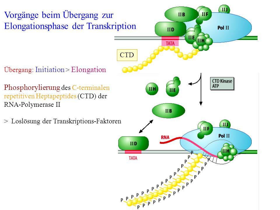 Übergang: Initiation > Elongation Phosphorylierung des C-terminalen repetitiven Heptapeptides (CTD) der RNA-Polymerase II > Loslösung der Transkriptio