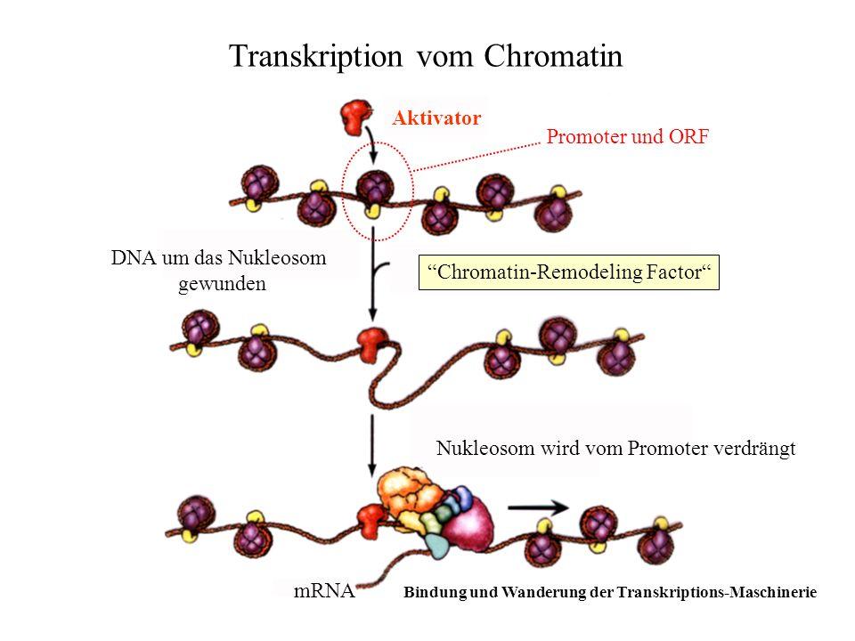 Transkription vom Chromatin Aktivator Chromatin-Remodeling Factor DNA um das Nukleosom gewunden Promoter und ORF Nukleosom wird vom Promoter verdrängt
