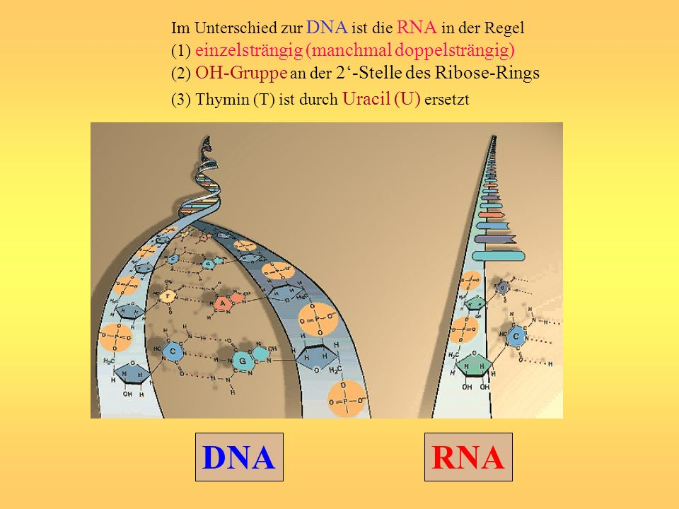 DNARNA Im Unterschied zur DNA ist die RNA in der Regel (1) einzelsträngig (manchmal doppelsträngig) (2) OH-Gruppe an der 2-Stelle des Ribose-Rings (3)