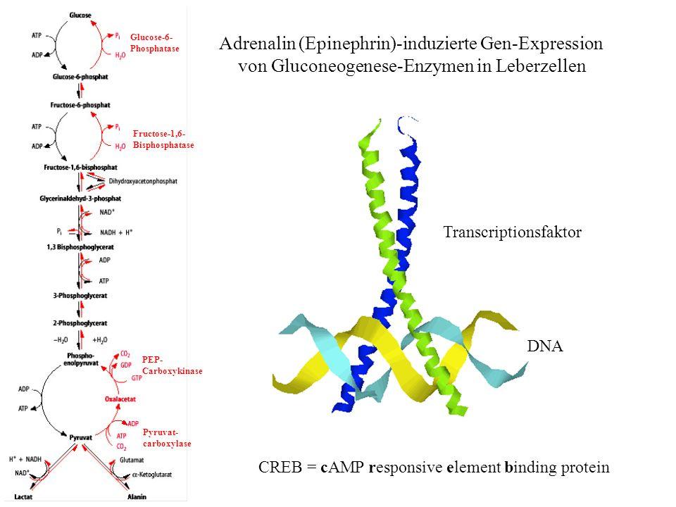 Adrenalin (Epinephrin)-induzierte Gen-Expression von Gluconeogenese-Enzymen in Leberzellen Pyruvat- carboxylase Fructose-1,6- Bisphosphatase Glucose-6