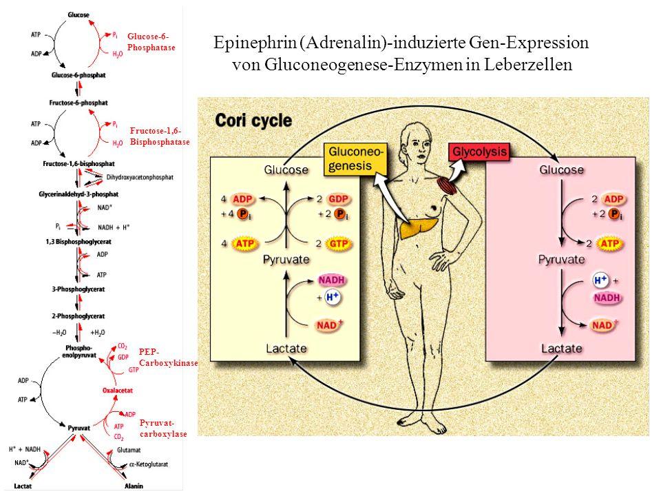 Epinephrin (Adrenalin)-induzierte Gen-Expression von Gluconeogenese-Enzymen in Leberzellen Pyruvat- carboxylase Fructose-1,6- Bisphosphatase Glucose-6