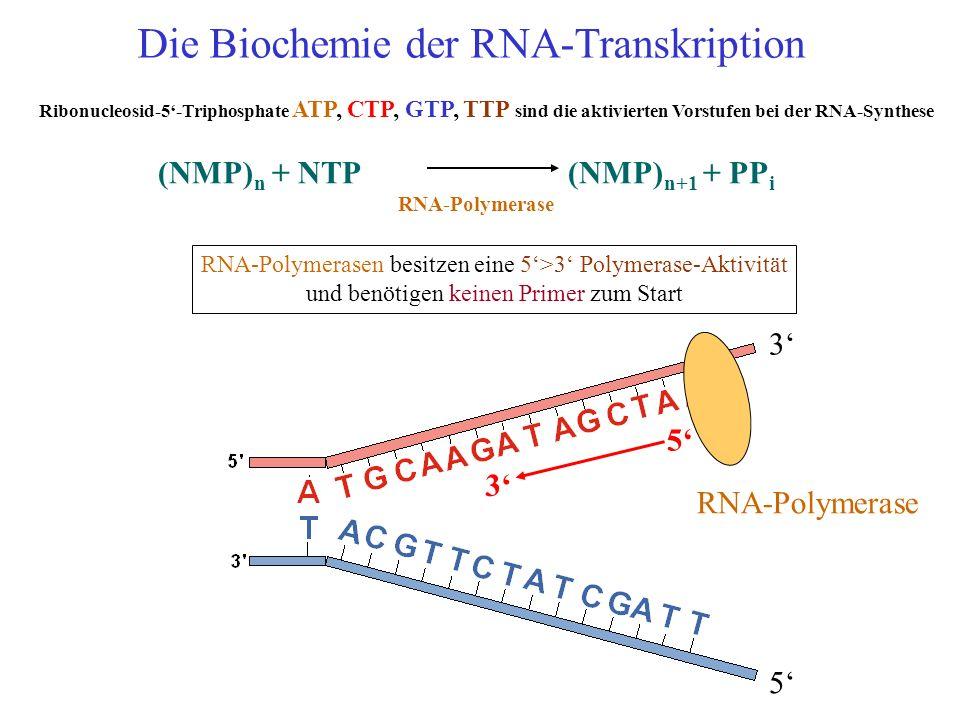 (NMP) n + NTP (NMP) n+1 + PP i RNA-Polymerase RNA-Polymerasen besitzen eine 5>3 Polymerase-Aktivität und benötigen keinen Primer zum Start 3 5 5 3 RNA