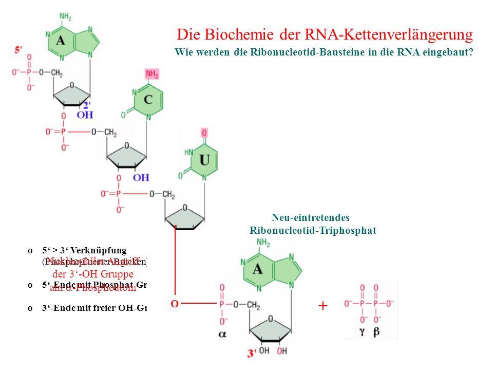 o 5 > 3 Verknüpfung (Phospho-Diester-Brücken) o 5-Ende mit Phosphat-Gruppe o 3-Ende mit freier OH-Gruppe + Neu-eintretendes Ribonucleotid-Triphosphat