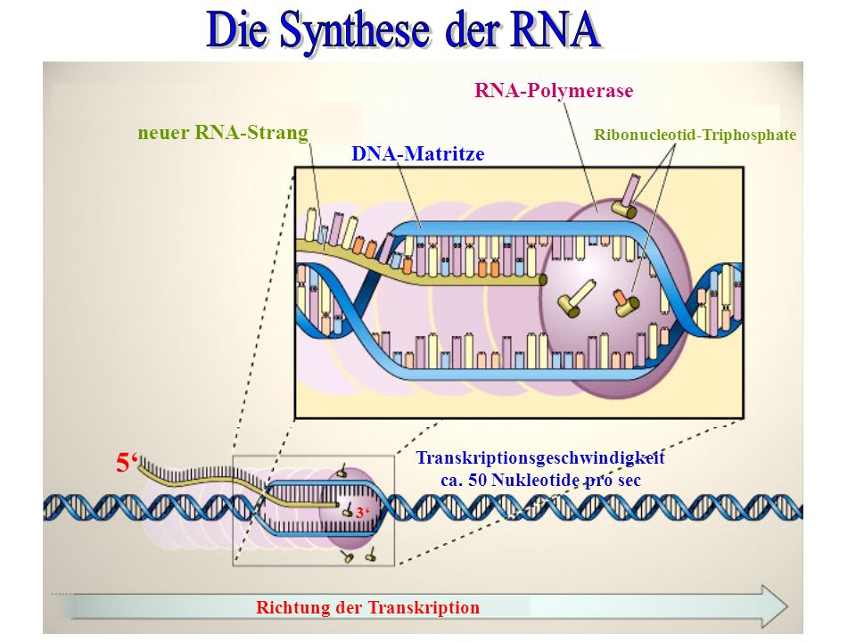 Richtung der Transkription RNA-Polymerase Ribonucleotid-Triphosphate DNA-Matritze neuer RNA-Strang 5 3 Transkriptionsgeschwindigkeit ca. 50 Nukleotide