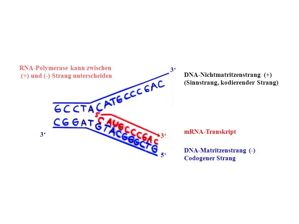 DNA-Nichtmatritzenstrang (+) (Sinnstrang, kodierender Strang) DNA-Matritzenstrang (-) Codogener Strang mRNA-Transkript 3 3 5 3 RNA-Polymerase kann zwi