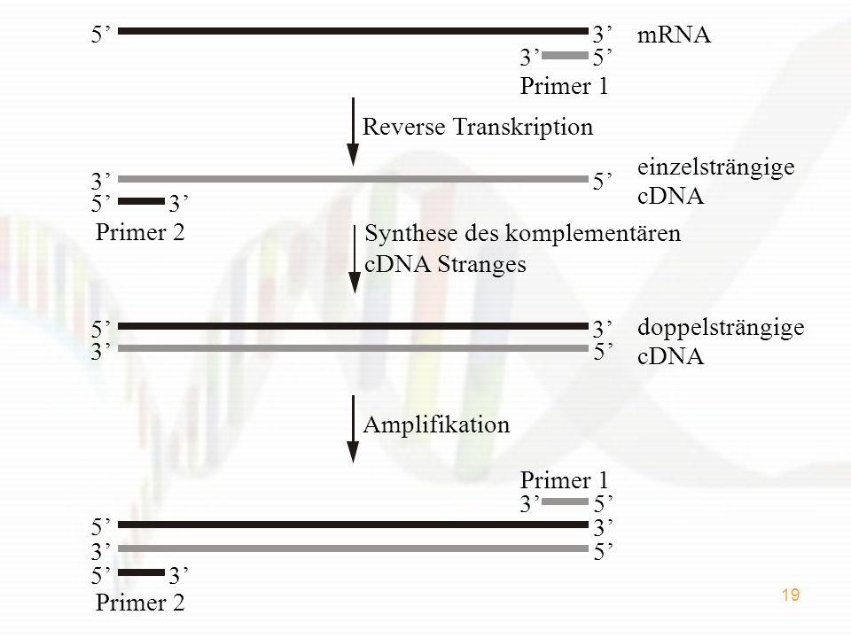19 35mRNA 35 Primer 1 Primer 2 53 53 einzelsträngige cDNA doppelsträngige 35 5 cDNA 3 Reverse Transkription Amplifikation 3 5 5 3 Primer 2 53 Primer 1 35 Synthese des komplementären cDNA Stranges