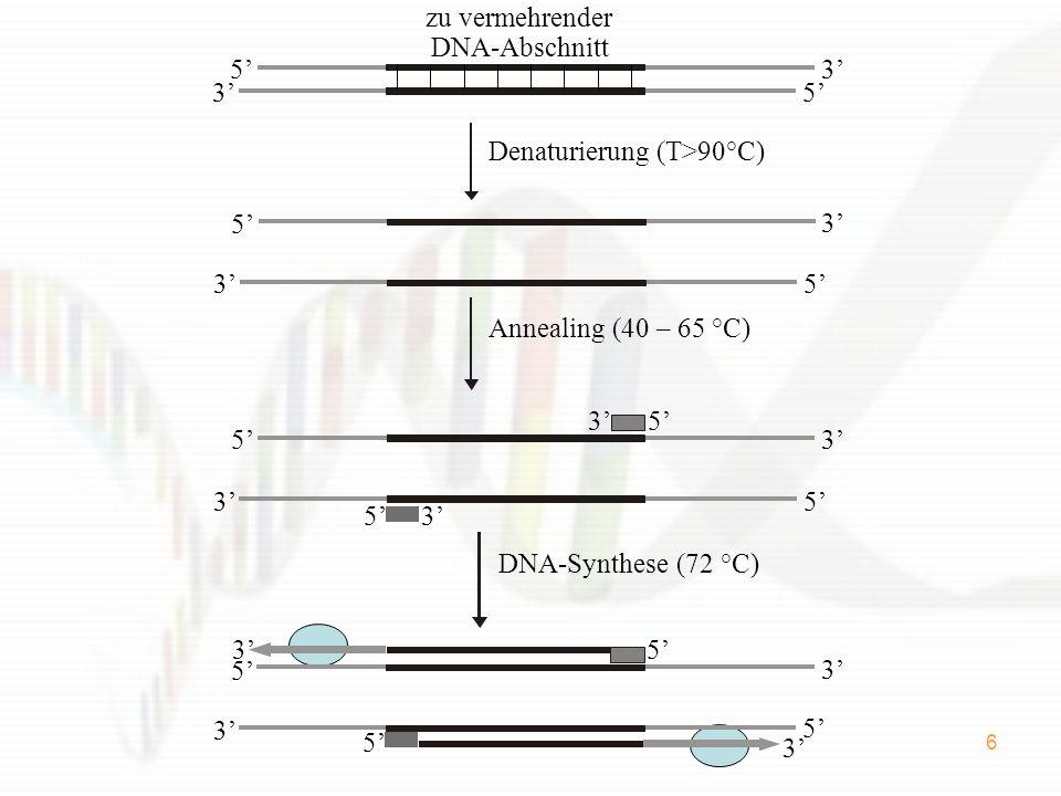 6 zu vermehrender DNA-Abschnitt 5 3 5 3 5 3 5 3 Denaturierung (T>90°C) 5 5 5 3 5 3 3 3 Annealing (40 – 65 °C) 3 5 3 5 5 35 3 DNA-Synthese (72 °C)